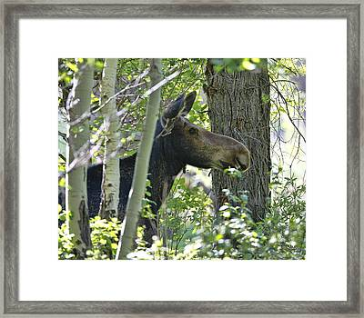 Moose Emerging From Aspen Trees Framed Print