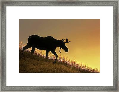 Framed Print featuring the photograph Moose Evening Wander by Jennie Marie Schell