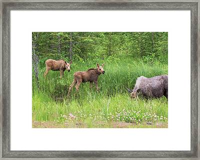 Moose Family Framed Print