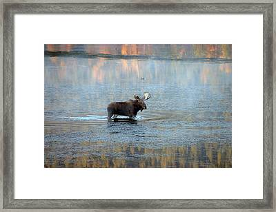 Moose In Autumn Snake Framed Print by Michael Riley