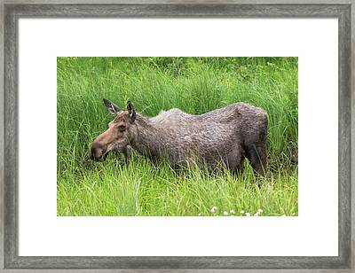 Moose In Tall Grass Framed Print