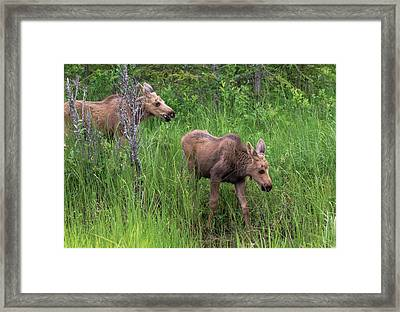 Moose In The Field Framed Print