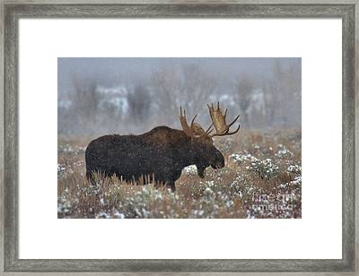 Framed Print featuring the photograph Moose In The Fog by Adam Jewell