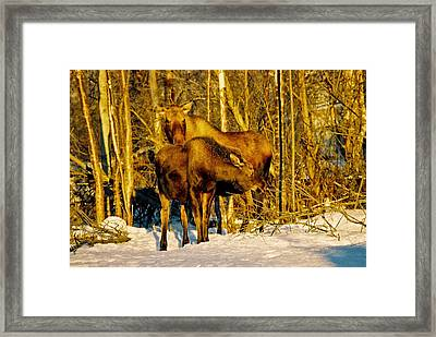 Moose In The Morning Framed Print by Juergen Weiss
