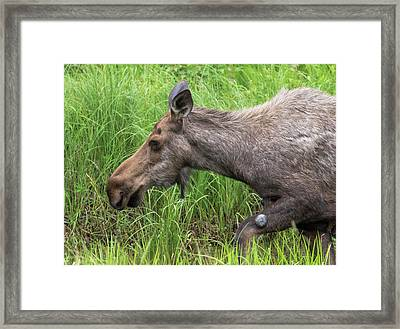 Moose In The Pond Framed Print