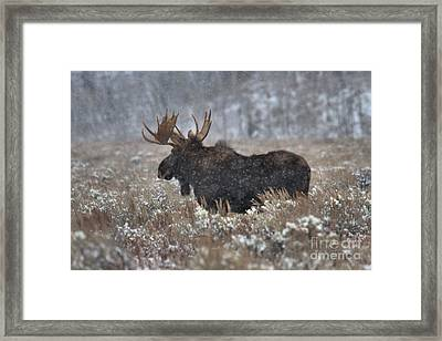Framed Print featuring the photograph Moose In The Snowy Brush by Adam Jewell