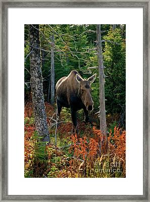 Moose In The Wild Framed Print by Scott Kemper