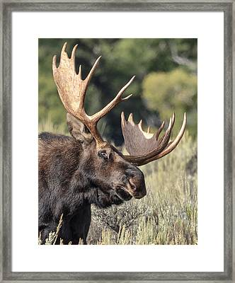 Framed Print featuring the photograph Moose by John Gilbert