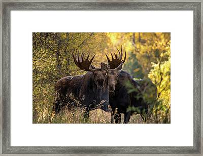 Framed Print featuring the photograph Moose Love by Mary Hone
