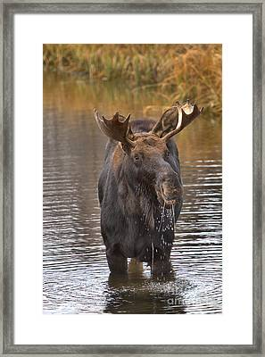 Moose Lunch Drool Framed Print by Adam Jewell
