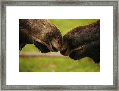 Moose Nuzzle Framed Print