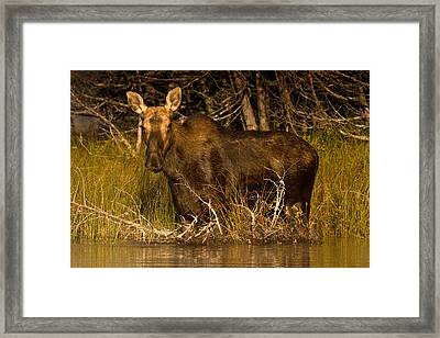 Moose Of Prong Pond Framed Print