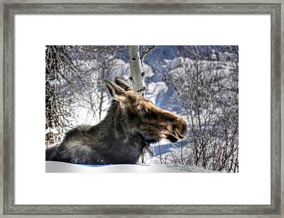 Moose On The Loose Framed Print