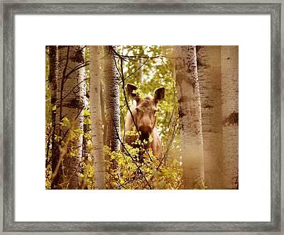 Moose Peek-a-boo Framed Print by Adam Owen