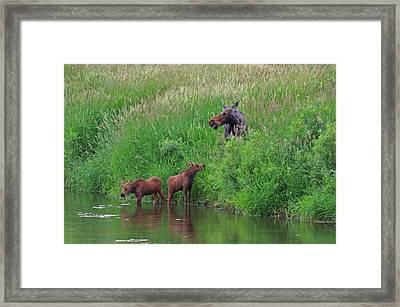 Moose Play Framed Print