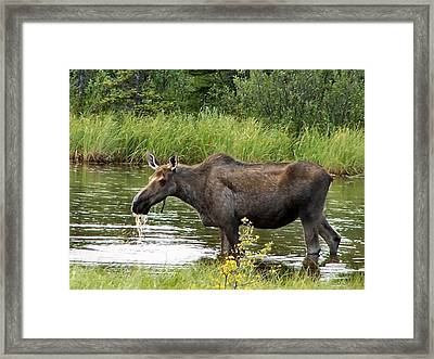Framed Print featuring the photograph Moose Pond by Adam Owen