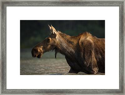 Moose Portrait // Glacier National Park  Framed Print