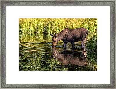 Framed Print featuring the photograph Moose Reflections by Mary Hone