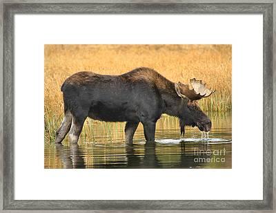 Moose Ripples Framed Print