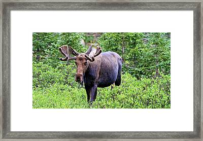 Framed Print featuring the photograph Moose Trail by Scott Mahon