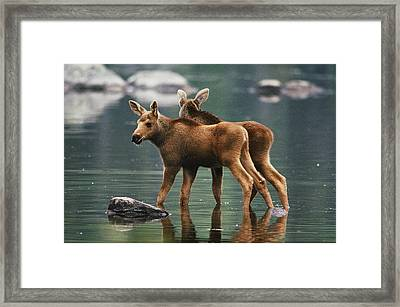 Moose Twins Alces Alces Americana Framed Print