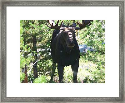 Moose Up Framed Print by Debbie Hall