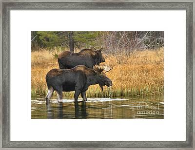 Moose Walking In Tendem Framed Print