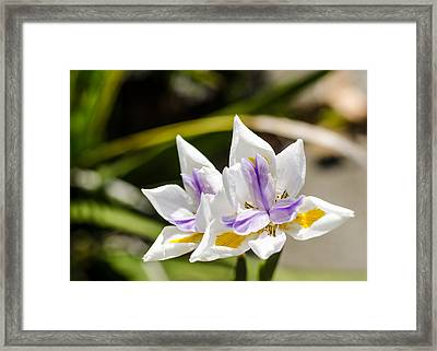 More Lilies Framed Print