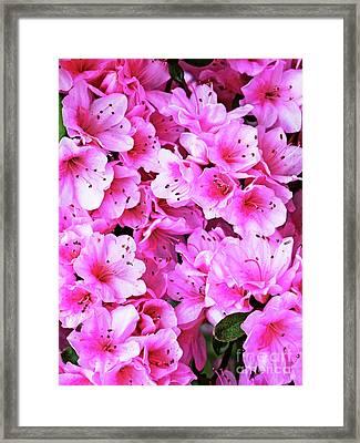 More Pink Azaleas Framed Print