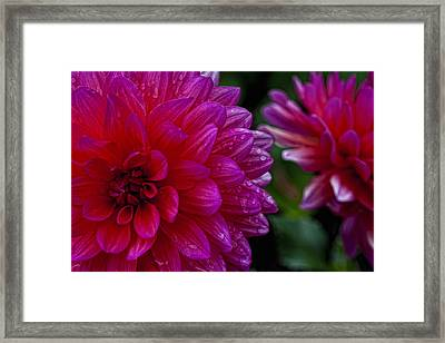 More Serious Magenta Framed Print by Robert Ullmann