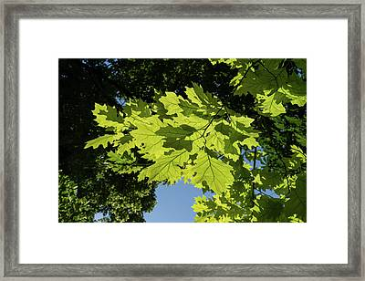 More Than Fifty Shades Of Green - Sunlit Oak And Linden Patterns - Down Left Framed Print by Georgia Mizuleva