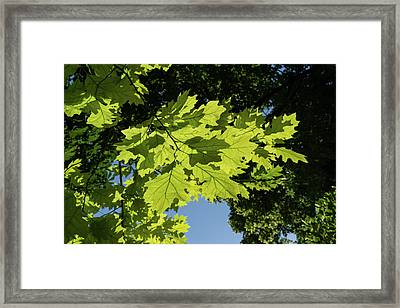 More Than Fifty Shades Of Green - Sunlit Oak And Linden Patterns - Down Right Framed Print by Georgia Mizuleva