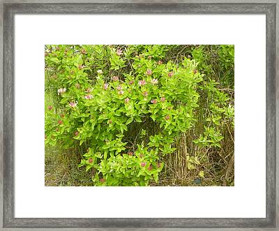 More Wild Honeysuckle Framed Print by Laurie Kidd