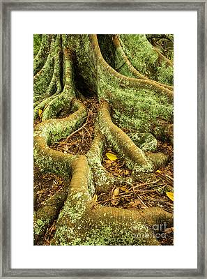 Framed Print featuring the photograph Moreton Bay Fig by Werner Padarin