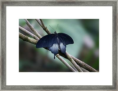 Great Mormon Butterfly Framed Print