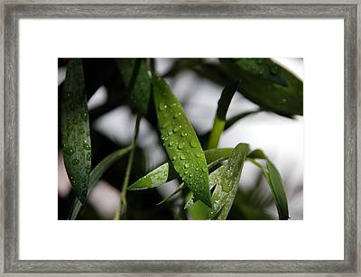 Morning Bamboo Framed Print by Ilihia Photography