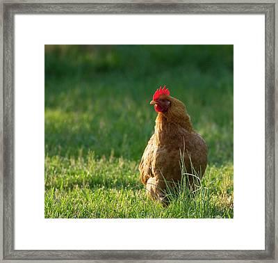 Morning Chicken Framed Print
