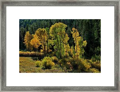 Morning Cottonwoods Framed Print