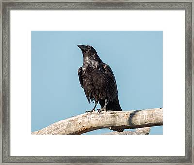 Morning Crow Framed Print by Loree Johnson