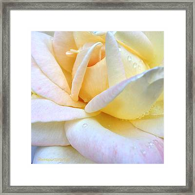 Morning Dew On A Pale Yellow Rose Framed Print