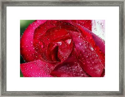Morning Dew On Rose Framed Print