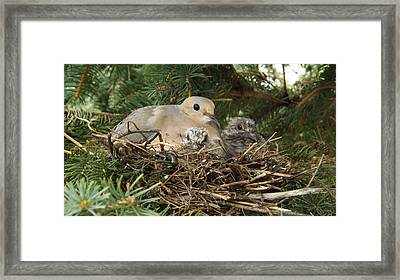 Morning Dove And Two Babys #2 Framed Print