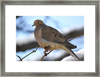 Morning Dove Framed Print by Patricia M Shanahan