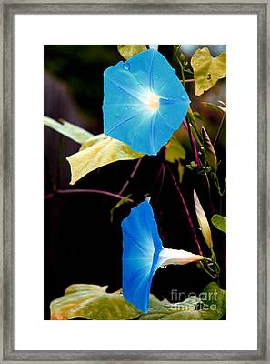 Morning Glories 1 Framed Print