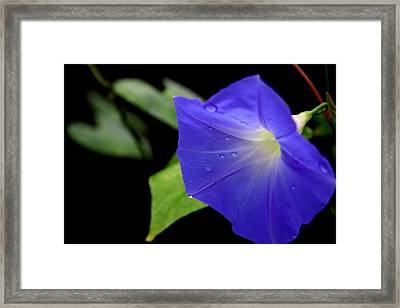 Morning Glories 2 Framed Print