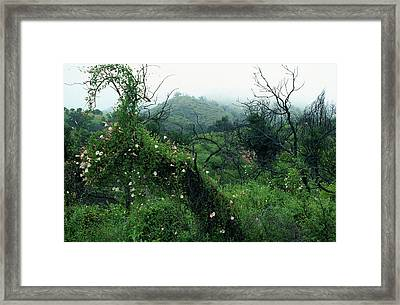 Morning Glories In Fog Framed Print by Kathy Yates