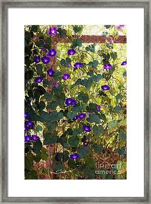 Morning Glories Framed Print by Margie Hurwich
