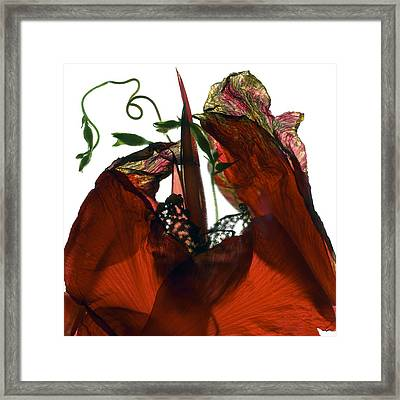 Morning Glory Canna Red Framed Print by Julia McLemore