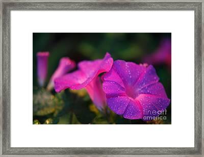 Morning Glory Framed Print by Gaspar Avila