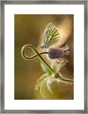 Morning Impression With Pasque Flower And Small Butterfly Framed Print